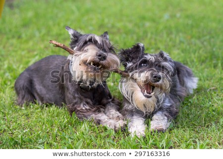 Two Miniature Schnauzer dogs Stock photo © raywoo
