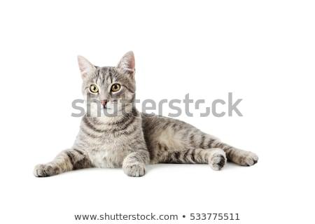 pequeno · cinza · gato · isolado · branco · cara - foto stock © Fesus