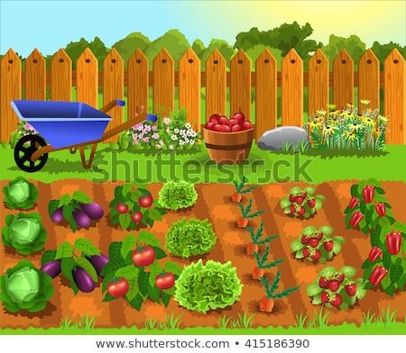 Vegetable garden with cabbage plants Stock photo © Klinker