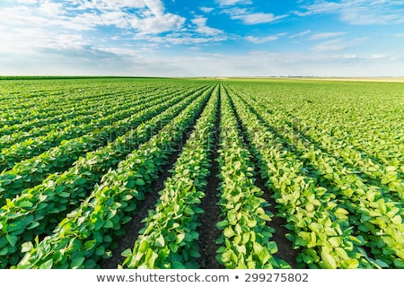 Green beans field Stock photo © homydesign