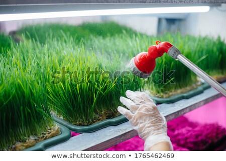 erba · verde · rugiada · natura · stagione · ambiente - foto d'archivio © cookelma