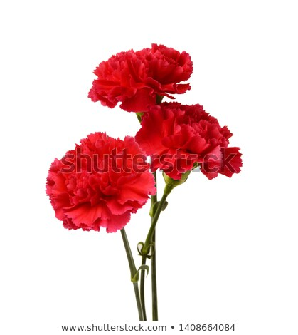 Red carnation flower bouquet bud isolated on white background Stock photo © orensila