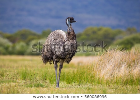 australian emu stock photo © lovleah