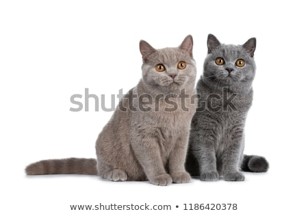 Gorgeous set of young adult cinnamon and blue British Shorthair cats on white background Stock photo © CatchyImages