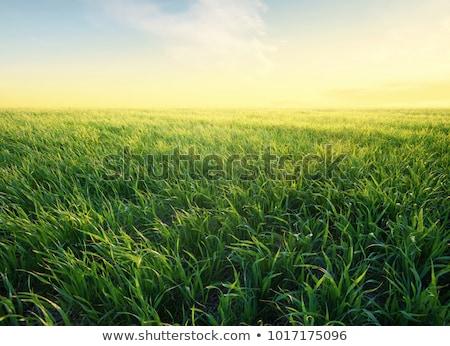 jonge · mais · planten · vochtig · veld - stockfoto © simazoran