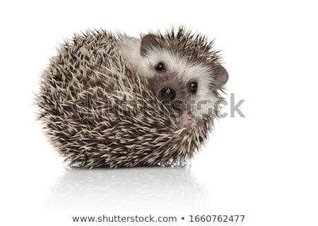 Sündisznó illusztráció kék lábak állat poszter Stock fotó © colematt