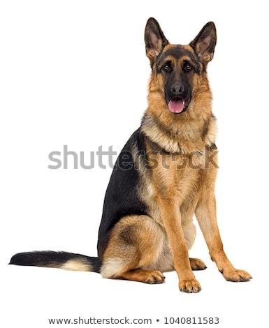 Studio shot of an adorable german shepherd dog Stock photo © vauvau