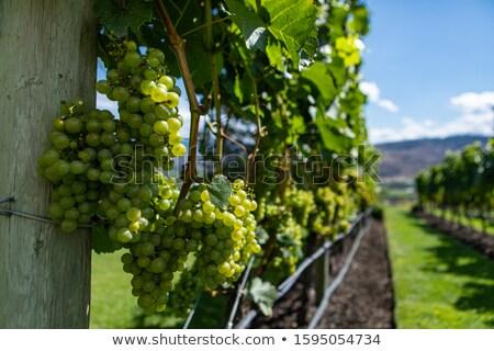 Pequeno uvas verdes vinha vinho planta fruto Foto stock © franky242