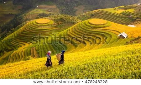 Rijst Vietnam rijstveld kat dorp veld Stockfoto © dmitry_rukhlenko