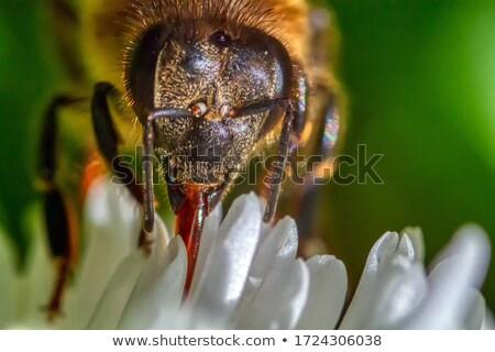 Vespa néctar pólen flor de cereja natureza Foto stock © Masha