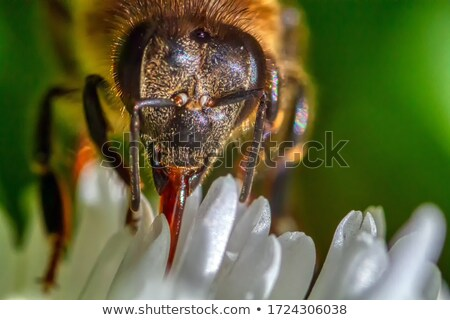 Wesp nectar verzamelen stuifmeel kersenbloesem natuur Stockfoto © Masha
