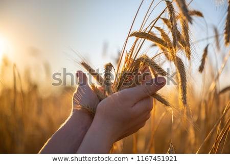 kéz · búza · étel · természet · fül · személy - stock fotó © zastavkin