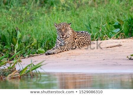 Jaguár portré fatörzs arc természet macska Stock fotó © frank11