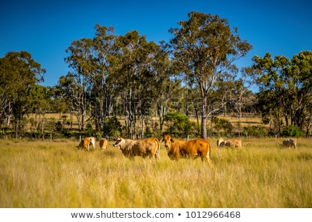 Stockfoto: Kudde · australisch · rundvlees · vee · blauwe · hemel