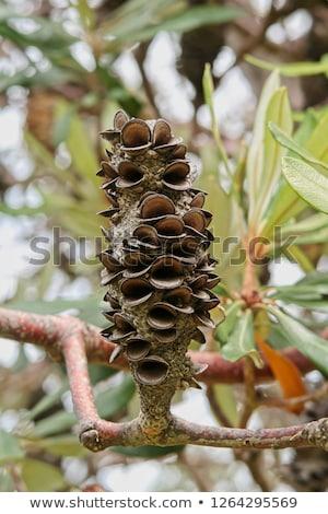 Banksia Seed Pod  Stock photo © ribeiroantonio