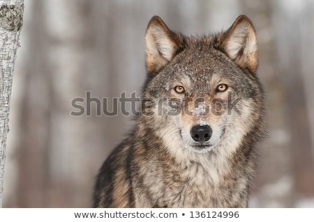 Stock photo: Wolf in Captivity
