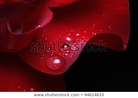Сток-фото: Red Rose Macro With Water Droplets