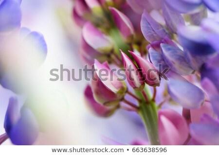 Stock fotó: Lila · virágok · részlet · szelektív · fókusz · háttér · szépség