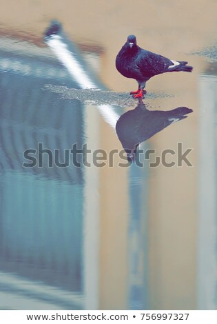 an urban pigeon reflecting in the water stock photo © meinzahn