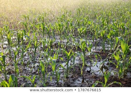 Nawadnianie kukurydza dziedzinie światło słoneczne niebo drzewo Zdjęcia stock © Kayco