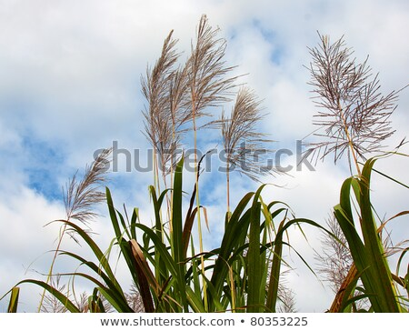 herbe · canne · ciel · bleu · nature · été · usine - photo stock © silkenphotography