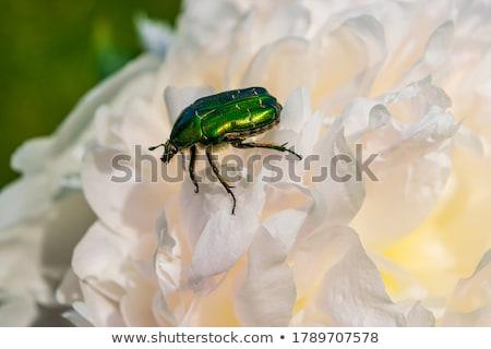chafer beetle on peony flower macro Stock photo © Mikko