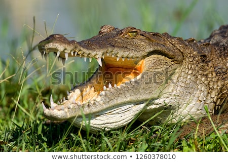 Nile Crocodile (Crocodylus niloticus) Stock photo © dirkr