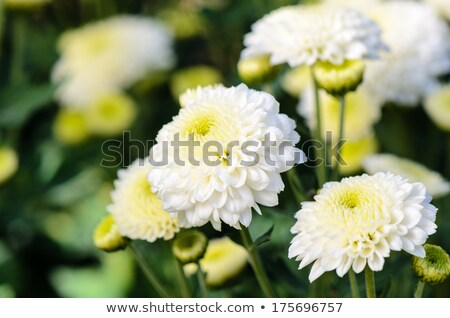White Chrysanthemum Morifolium flowers farms Stock photo © Yongkiet