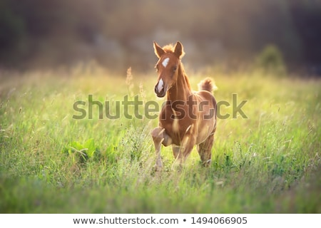Foals gallop Stock photo © adrenalina