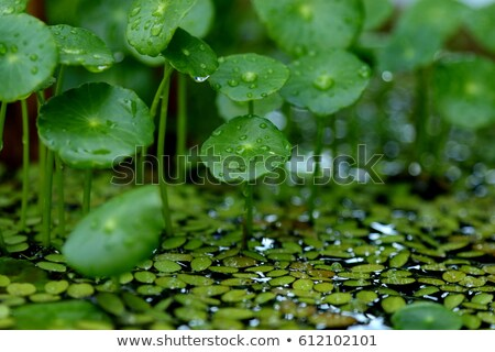 Flutuante lagoa manhã orvalho gotas verde Foto stock © aza