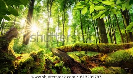 Mossy green forest Stock photo © olandsfokus