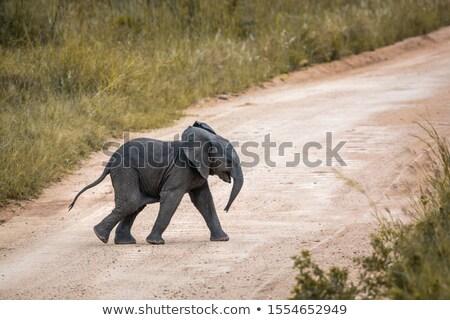 young elephant crossing road Stock photo © Mikko
