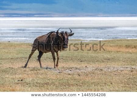 Wildebeest standing on the ground, closeup Stock photo © FrameAngel