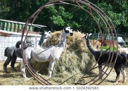 Domestic Llama Eating Hay Farm Livestock Animals Alpaca Stock photo © cboswell