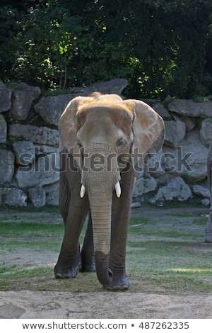 Open book with african elephant (Loxodonta africana) Stock photo © ajlber