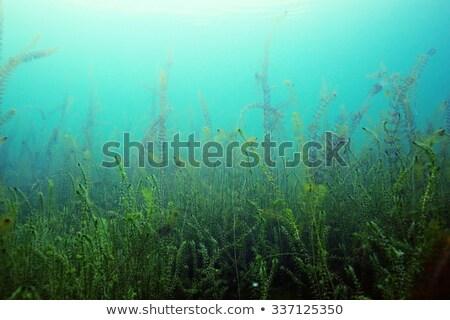 Weeds in river Stock photo © Hofmeester