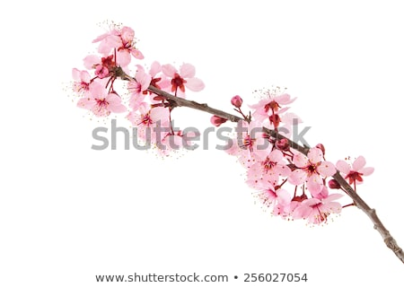 isolated twig with pink cherry blossoms stock photo © manfredxy