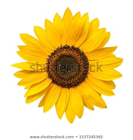 Sunflower blossoms in the sun Stock photo © Klinker