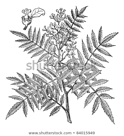 A Californian pepper tree Stock photo © bluering