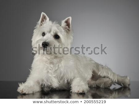 west highland white terrier lying in the dark studio stock photo © vauvau