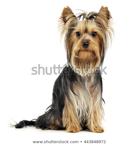 Foto stock: Bom · cabelos · longos · yorkshire · terrier · estúdio · feliz