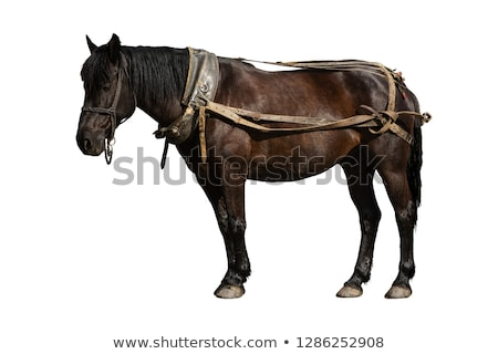 horse in harness stands Stock photo © papa1266