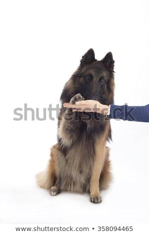 Dog, Belgian Shepherd Tervuren, paw to human hand, isolated Stock photo © AvHeertum