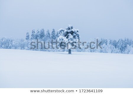 Beautiful winter landscape: a field covered with snow and spruce Stock photo © alinamd