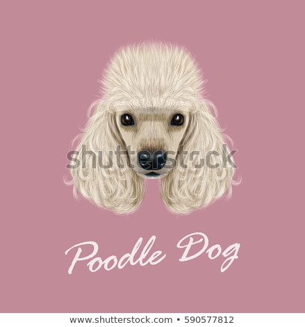 head of a black poodle puppy dog stock photo © feedough