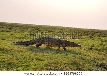 крокодила берег реки Мексика животного опасность Сток-фото © THP