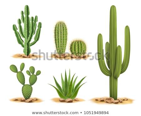 Foto stock: Cactus · desierto · aislado · planta · blanco · vector
