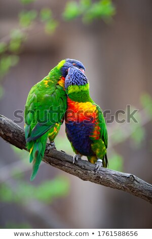 a pair of lorikeet on a tree branch trichoglossus haematodus stock photo © lightpoet