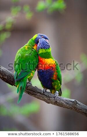 A pair of Lorikeet on a tree branch (Trichoglossus haematodus) Stock photo © lightpoet