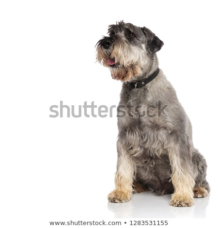curious seated schnauzer pants and looks to side Stock photo © feedough